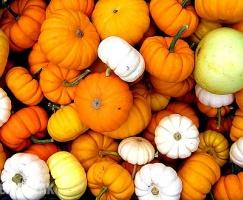 Pumpkin, cucurbits